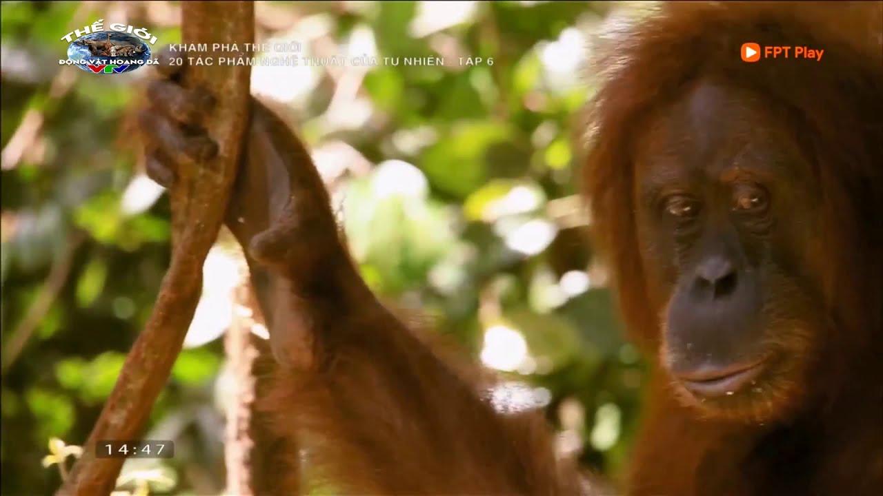 (Thuyết Minh) Thế Giới Động Vật Hoang Dã 2020 | 20 Tác Phẩm Nghệ Thuật Của Tự Nhiên-Đười Ươi Sumatra