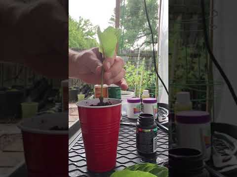 How To Clone Kratom Plants. Kratom Nursery Kratom Farm Live Kratom Plants