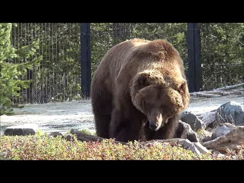 Grizzly Bears of West Yellowstone