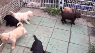 F1ラブラドゥードルの子犬たち9匹、生後38日目、広いサークルの中...
