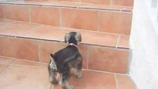 I Can Climb The Stairs! (toy Schnauzer Puppy)