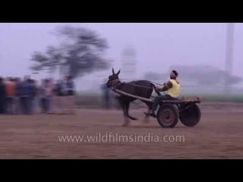 Donkey racing competition in India