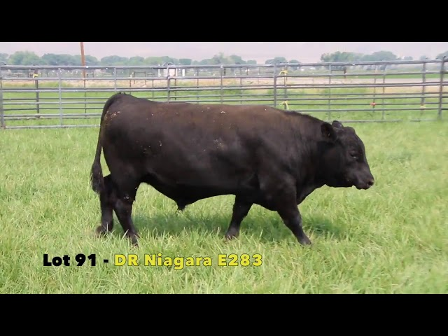Black Gold Bull Sale Lot 91