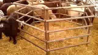 видео Как самостоятельно построить овчарню?