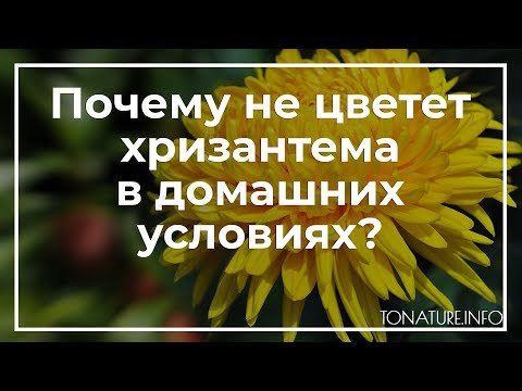Почему не цветет хризантема в домашних условиях? | toNature.Info