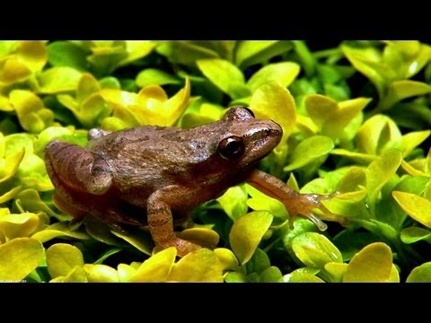 ❀ Spring Peepers - 1 Hour