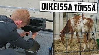 Suomen paras lehmien lypsäjä! #Taitaja2017