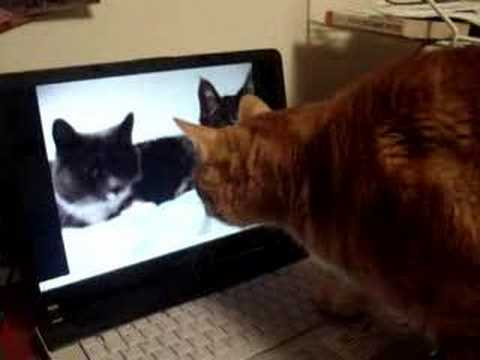 The two talking cats: cat reaction/ talking cat
