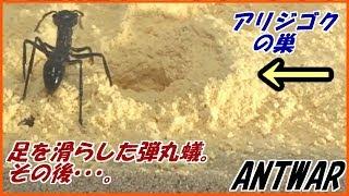蟻戦争Ⅲ#21 アリジゴクの巣に放り込まれた弾丸蟻は・・・。編~Bullet ant into the antlion's nest~