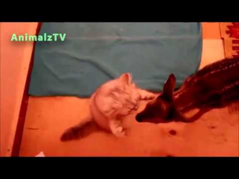 Cute Roe Deer Playing with Cat in Tbilisi Zoo [NEW VIDEO]