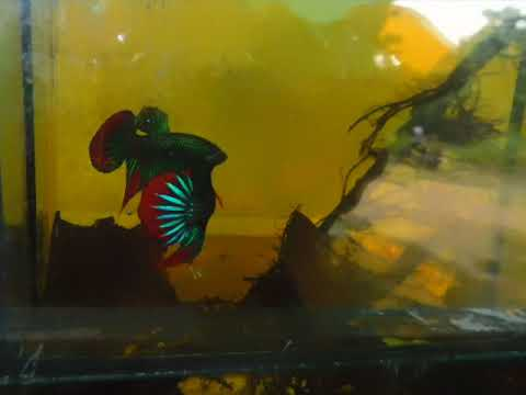 On sell now. Original Wild Betta Imbellis.  If you're interested, please pm