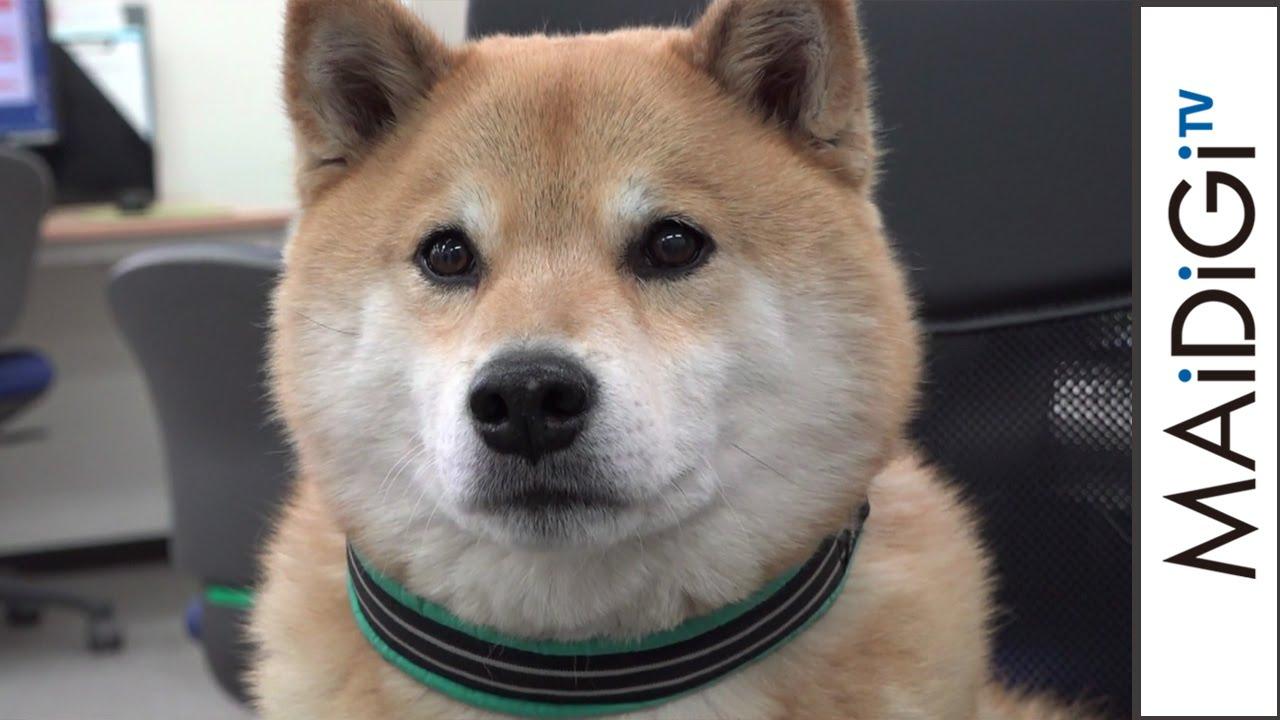 柴犬まる インスタ世界一のアイドル犬がぶらり\u2026 \u201cまんまる\u201dな笑顔振りまく Shibainu maru , YouTube