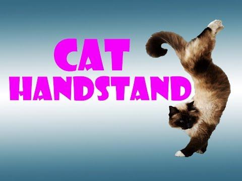 Cat video – Cat handstand