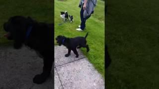 Skip,Mario,Dillon - Puppy/Jnr show 2016