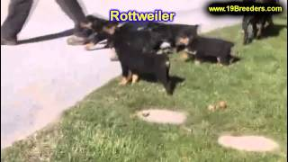 Rottweiler, Puppies, For, Sale, In, South Bend, Indiana, County, In, Allen, Hamilton, St  Joseph, Va