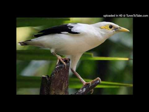 Macam Macam Ocehan Burung JALAK untuk Masteran Dan Pancingan JALAK KEBO, JALAK PUTIH, JALAK NIAS,