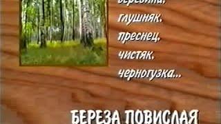 Береза, листья, почки