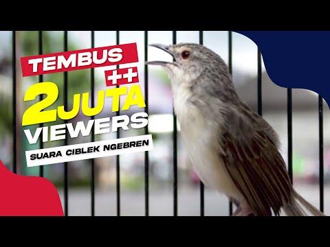 Download Lagu SUARA BURUNG : Ciblek Tembak Mati Ngebren Panjang Tahan Lama