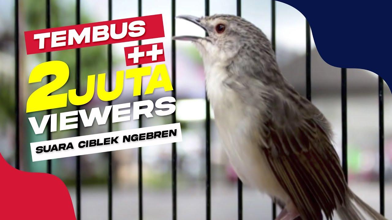 Suara Burung Ciblek Tembak Mati Ngebren Panjang Tahan Lama Youtube