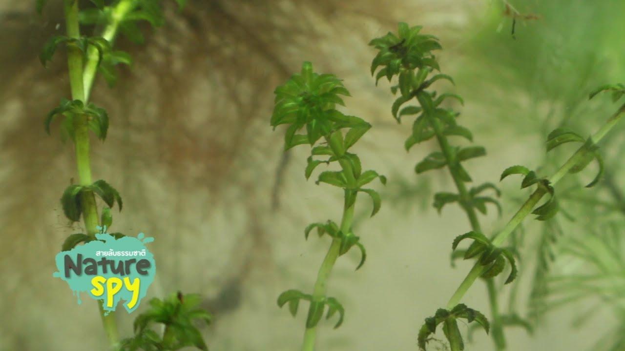 สายลับธรรมชาติ ตอน ตามหาสาหร่ายหางกระรอก