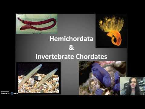Hemichordates & Invert Chordates