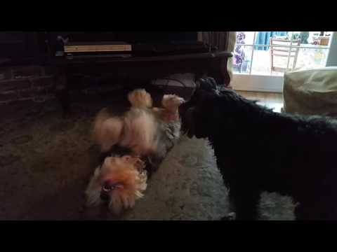 Funny dogs Bentley and Sugar the Puli playing