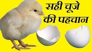 चूजो की नयी खेप लेने से  पहिले देखे | best chicks checkup before delivery