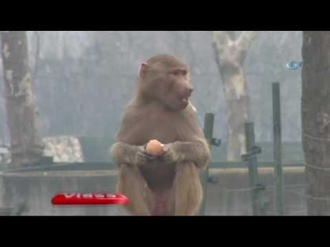 Maymunların Yumurta Ve Tavuk Keyfi ART HABER