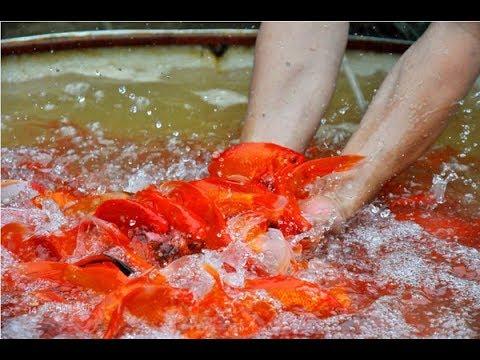 Thăm quan làng cá cảnh truyền thống Yên Phụ