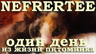 Один день из жизни питомника Nefertee | Абиссинские кошки, девон рекс, египетская мау