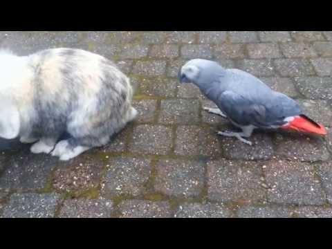Grijze Roodstaarten Puck & Flip en konijn Lobke (15-04-2013)