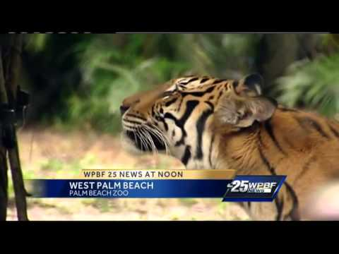 Sibling tigers leaving their nest, headed to Jacksonville