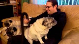 Pug Vacuuming