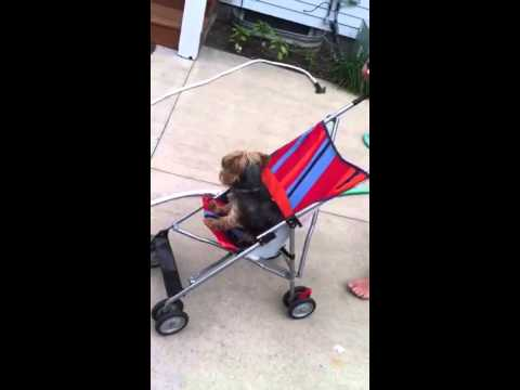 Yorkie goes in a stroller