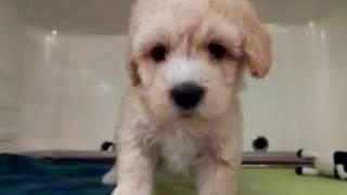 ミックス犬(マルチーズXプードル)