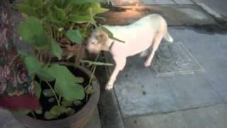 タイの犬.