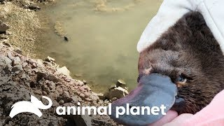¡Hay un ornitorrinco en una cantera! | Los Irwin | Animal Planet