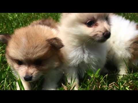 Teacup Pomeranian Puppies for Sale in Greensboro NC