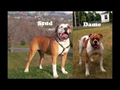 American Bulldog puppies playing