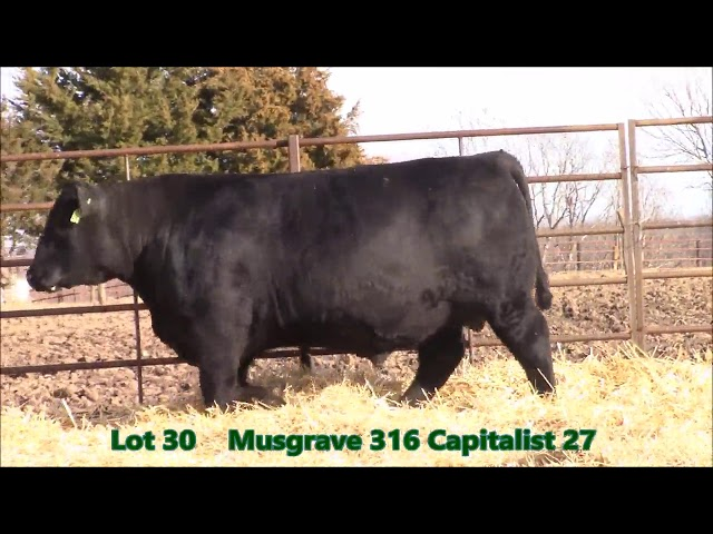 Musgrave Angus Lot 30