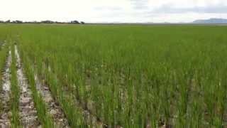 Dr S Kibona Rice farming. Kilimo cha mpunga