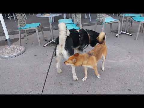 Alaskan Malamute follows much smaller dog under the chair