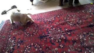 tiggy norfolk terrier puppy