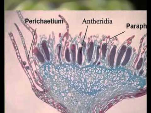 Marchantia: Structure and reproduction