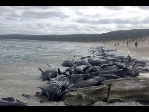 جنوح أعداد غير مألوفة من الحيتان إلى شواطئ أستراليا  - نشر قبل 1 ساعة
