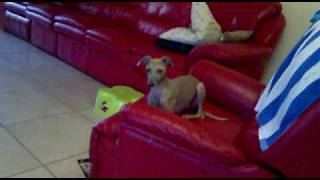 Italian Greyhound Does Basic Obedience