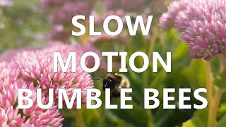 mudsongs.org: Bumble Bees in Slow Motion