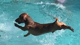 Hilarious Dachshund dogs playful videos compilation 2021, funny weiner videos compilation  2021