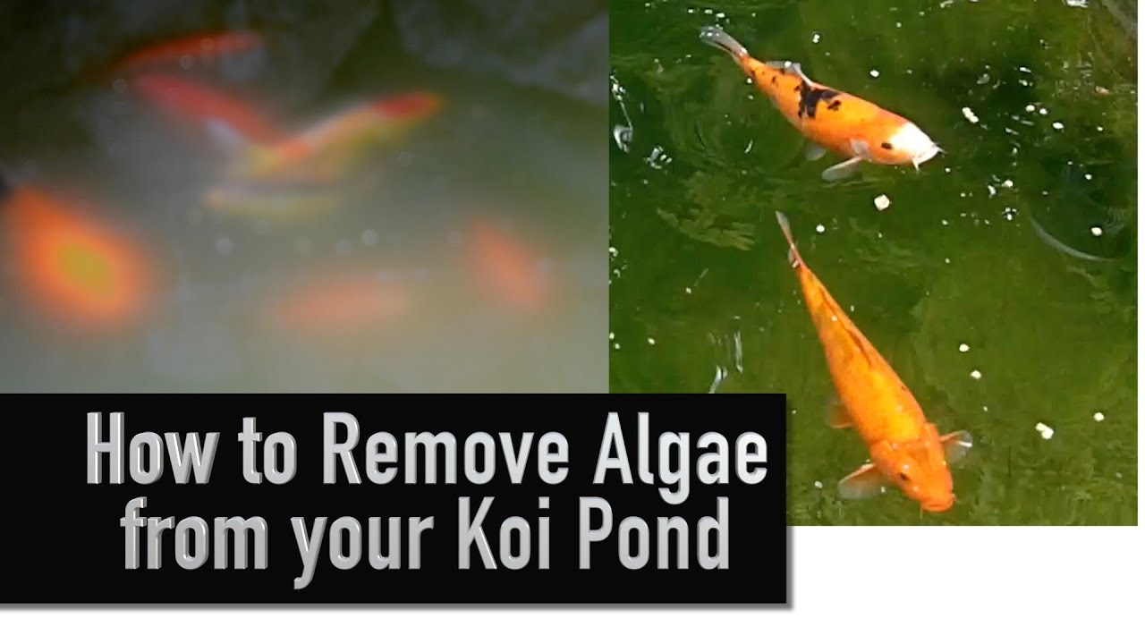 how to remove algae from your koi pond youtube