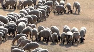 千葉・マザー牧場での 「アヒルの大行進」 「羊のレース」 「ひつじの大...